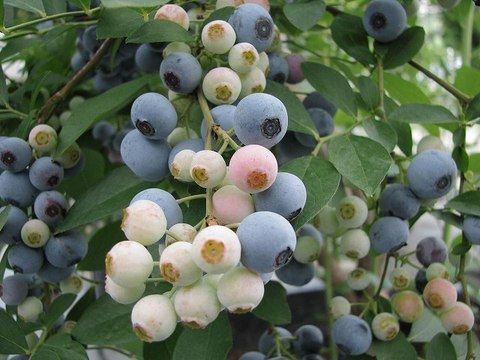 Blueberry_080814_021