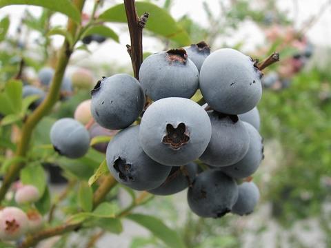 Blueberry_080814_022