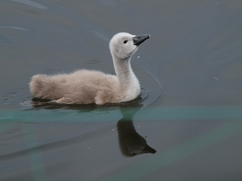 Swan_100529_011
