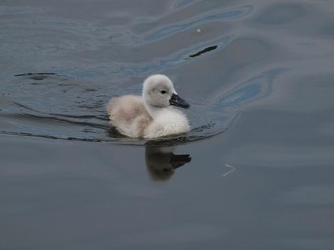 Swan_100529_012