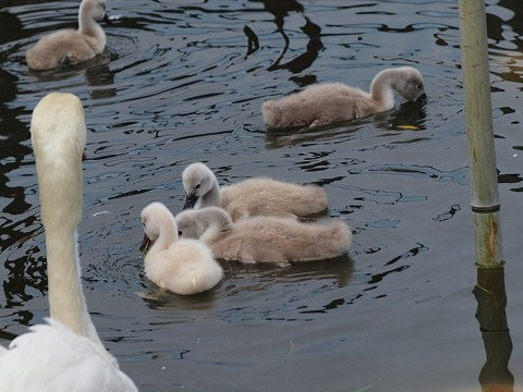 Swan_100529_013
