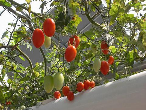 Tomato_100821_012