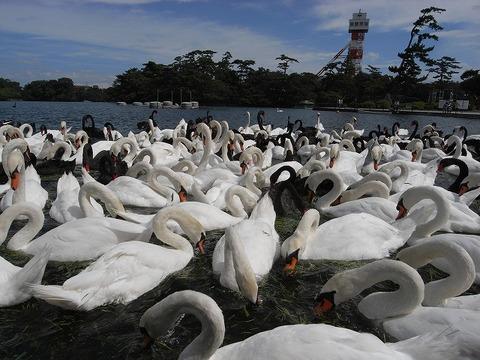 Swan_090718_014
