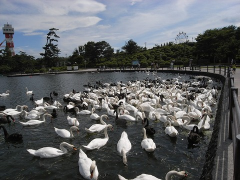 Swan_090718_015